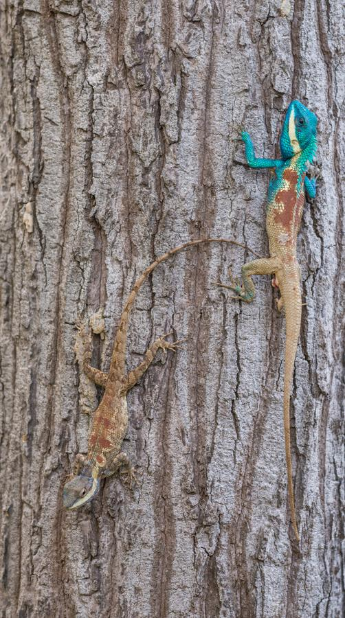 Calotes mystaceus, the Indo-Chinese forest lizard or blue crested lizard stock image