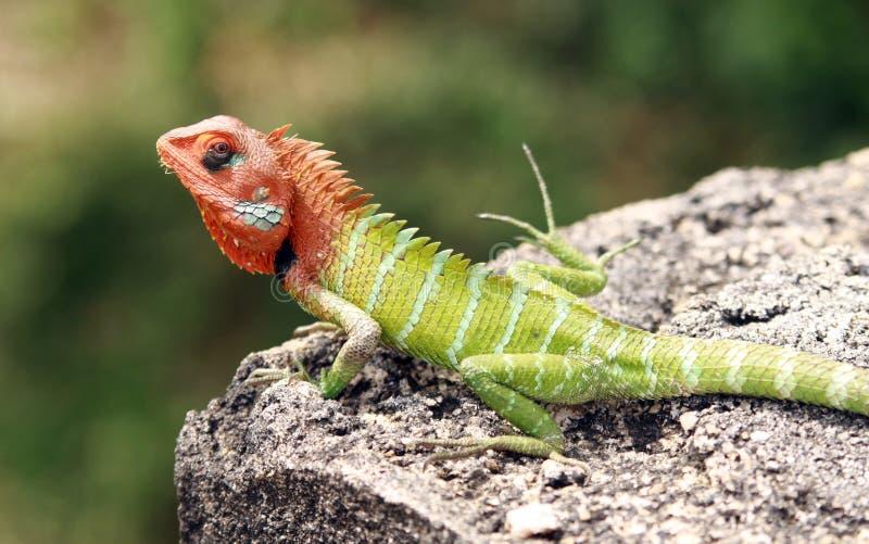 Calotes verdes de Calotes do lagarto da floresta com a cabeça vermelha que senta-se em uma rocha em Yala NP, Sri Lanka imagens de stock royalty free