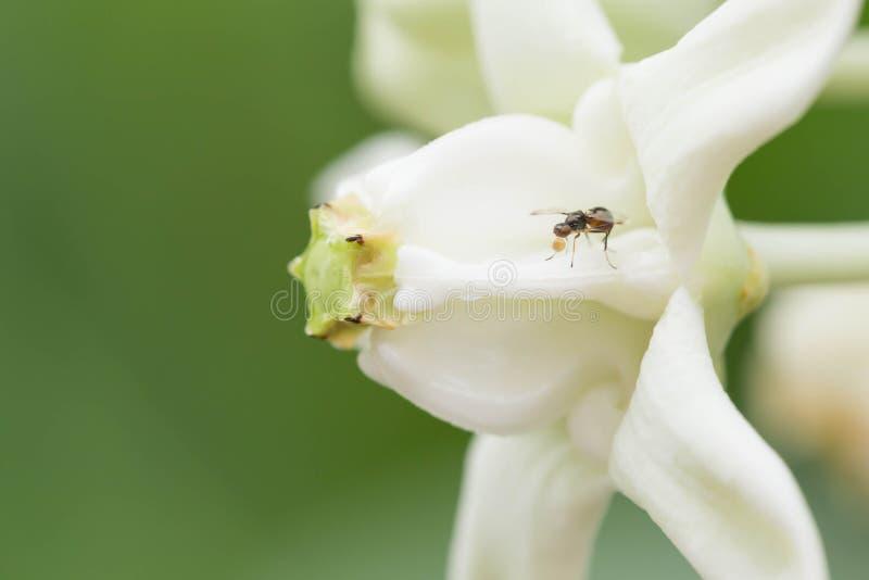 Download Calotropis 库存图片. 图片 包括有 春天, 夏天, 公园, 环境, 生气勃勃, 季节, 飞行 - 72360981