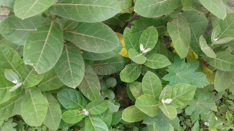 Calotropis gigantea( Κορώνα flower)  στοκ φωτογραφία με δικαίωμα ελεύθερης χρήσης