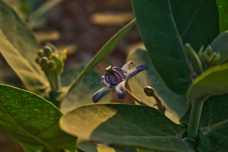 Calotropis Gigantea, Akanda, Flower royalty free stock photography