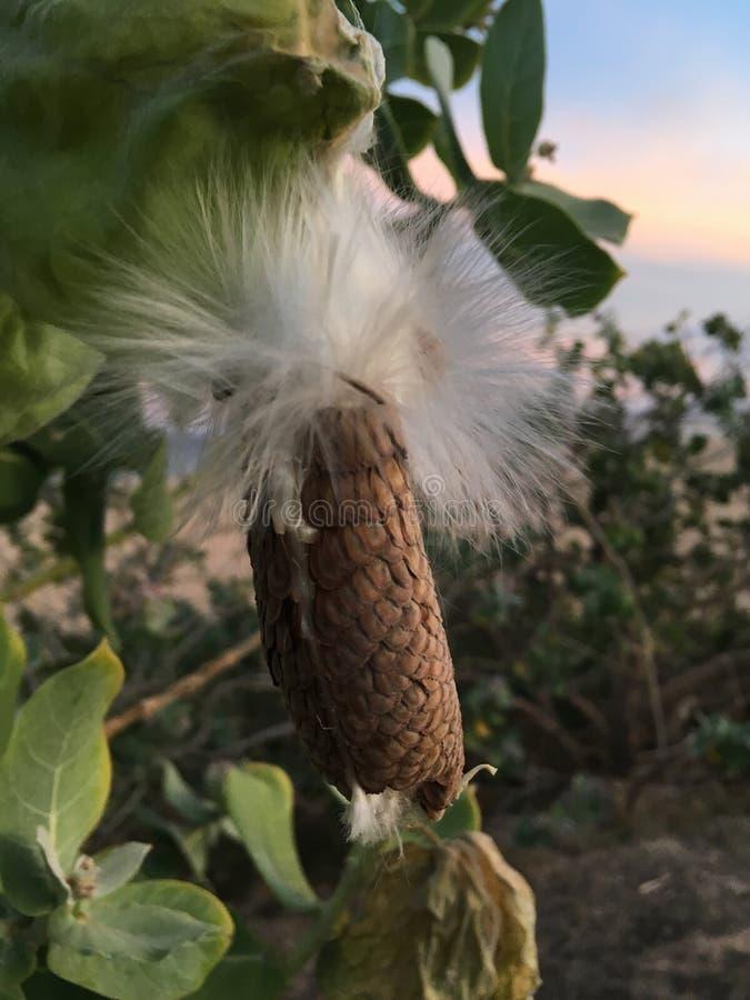 Calotropis Gigantea, arbre de fleur de couronne avec des graines pendant le coucher du soleil à la plage de Kekaha en île de Kaua photographie stock