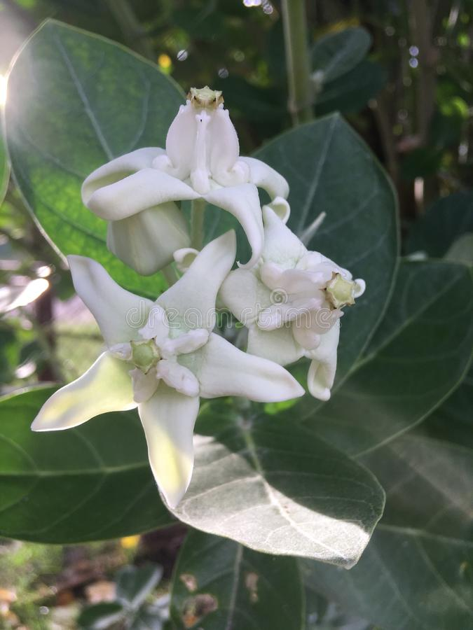 Calotropis Gigantea, Crown Flower, Plant Blossoming at Cemetery in Kekaha on Kauai Island, Hawaii. stock photo