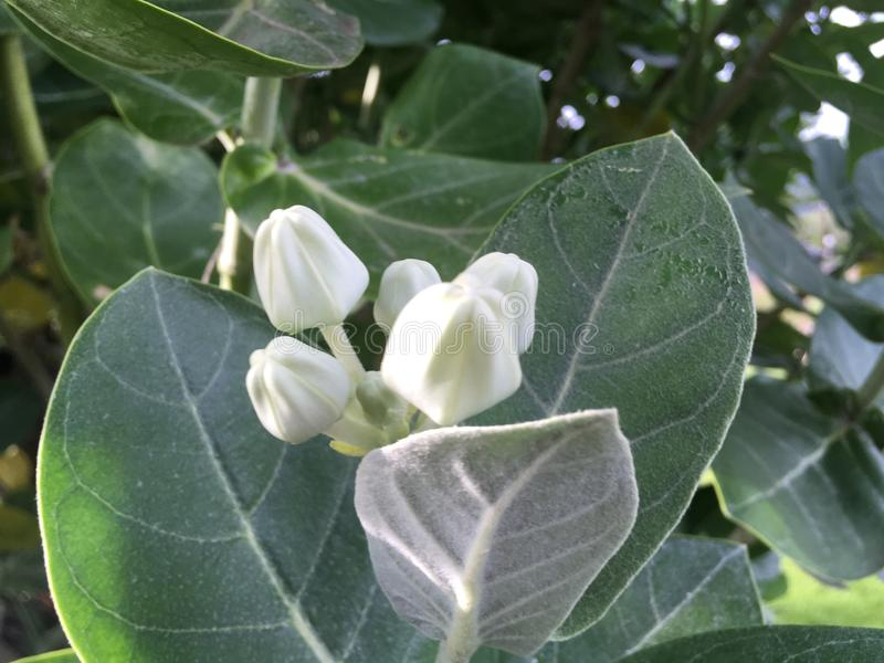 Calotropis Gigantea, Crown Flower, Plant Blossoming at Cemetery in Kekaha on Kauai Island, Hawaii. royalty free stock image