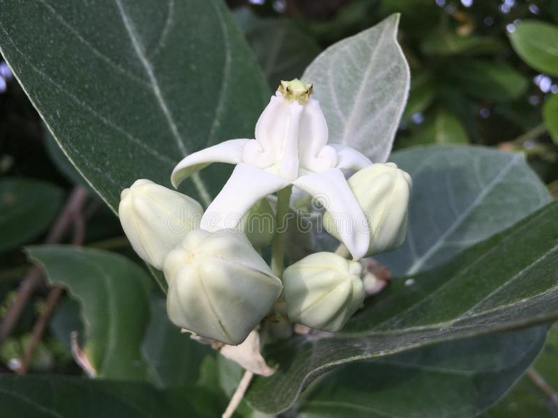 Calotropis Gigantea, Crown Flower, Plant Blossoming at Cemetery in Kekaha on Kauai Island, Hawaii. Calotropis Gigantea, Crown Flower, Plant Blossoming with royalty free stock images