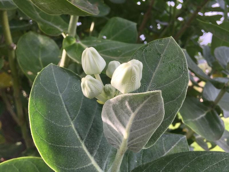 Calotropis Gigantea, Crown Flower, Plant Blossoming at Cemetery in Kekaha on Kauai Island, Hawaii. Calotropis Gigantea, Crown Flower, Plant Blossoming with stock photo
