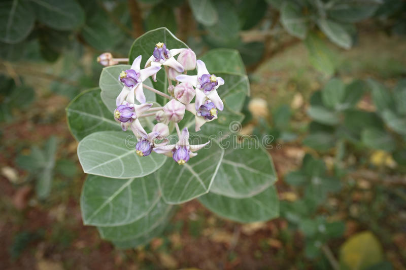 Calotropis gigantea stock photography