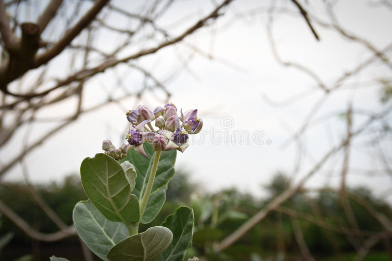 Calotropis gigantea, purple flowers royalty free stock image