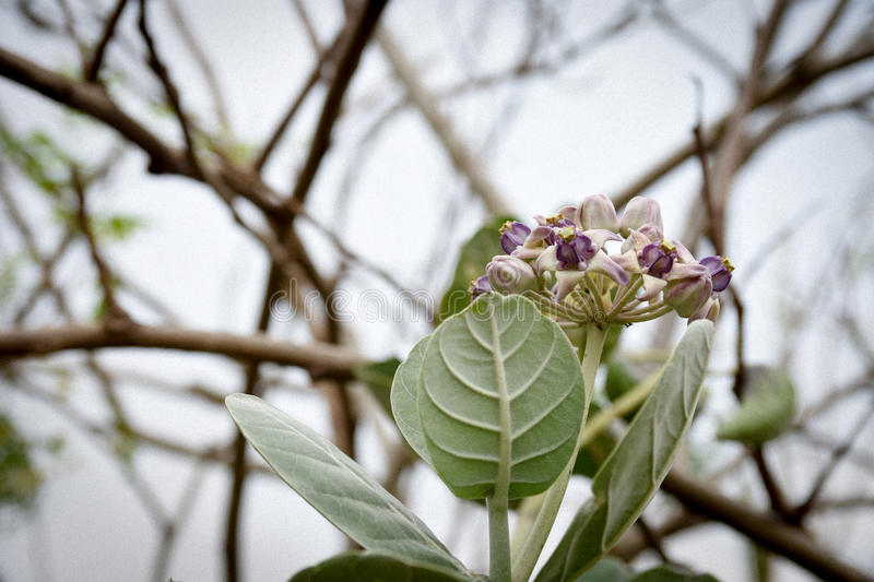 Calotropis gigantea, purple flowers stock image