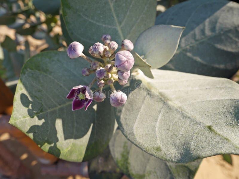 Calotropis procera lub Apple Soda kwiaty obrazy stock