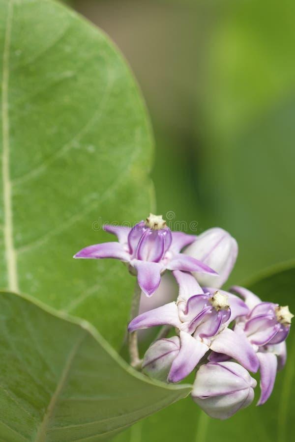Calotropis procera lub Apple Soda liście i kwiaty zdjęcia royalty free
