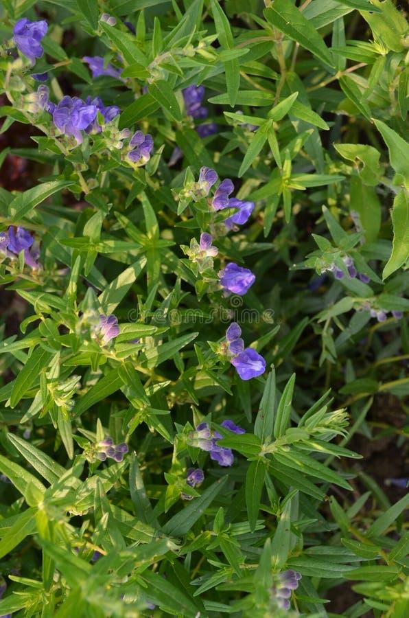 Calotte de Baikal (baicalensis de Scutellaria) photos libres de droits