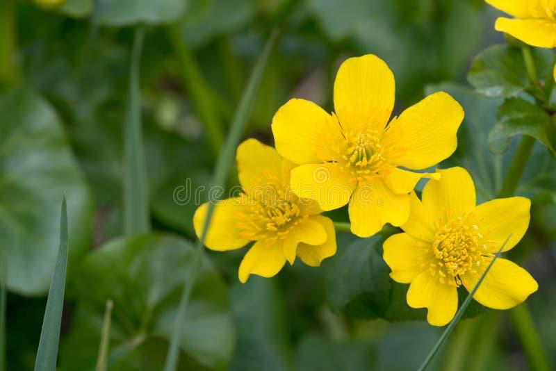 Caltha palustris, kaczeńcowego kingcup żółta wiosna kwitną fotografia stock