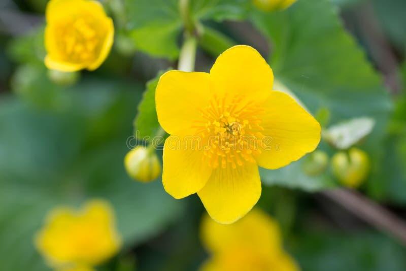 Caltha palustris, kaczeńcowi, kingcup kolor żółty kwitną obraz stock