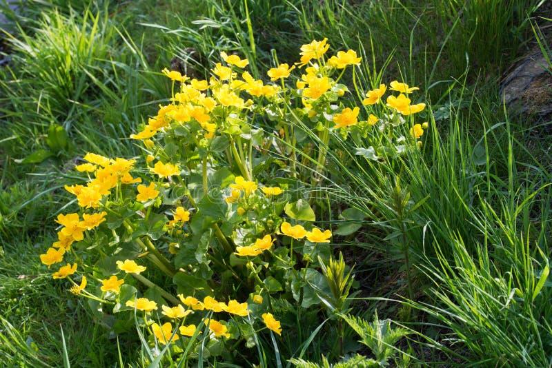 Caltha palustris, kacze?cowi, kingcup kolor ? zdjęcie royalty free