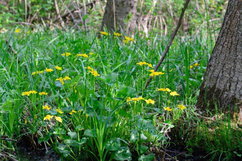 Caltha palustris, kacze?cowi, kingcup kolor ? zdjęcie stock