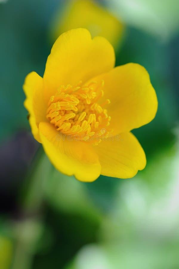 Caltha palustris oder Kingcup oder Sumpf-Ringelblume stockbild