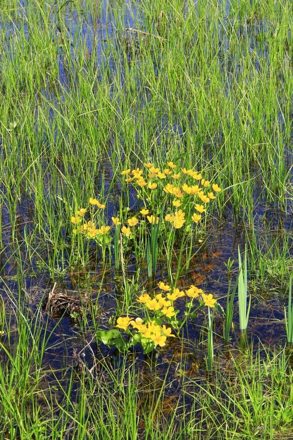 Caltha palustris r w bagnie wiosna kwiat Bagno nagietka kwiaty fotografia royalty free