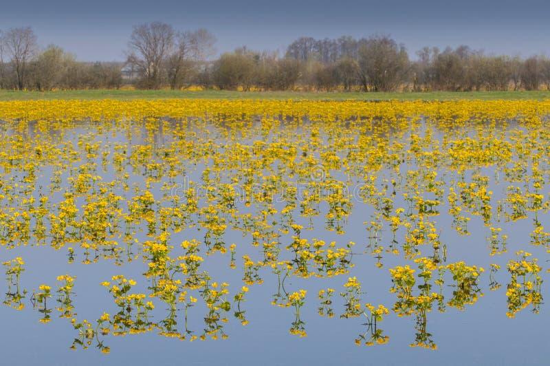 Caltha palustris, znać jako bagno nagietek i kingcup, Biebrzanski park narodowy, Polska fotografia stock