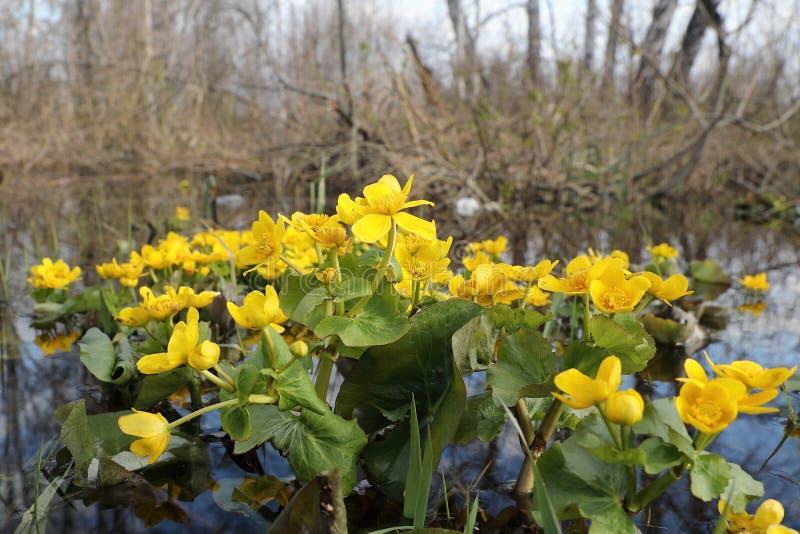Calthapalustris Träskringblomman på våren av vatten royaltyfri fotografi