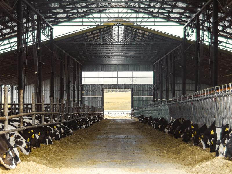 Calves in a cattle farm. Dairy farm. Agro-industrial animal husbandry royalty free stock images