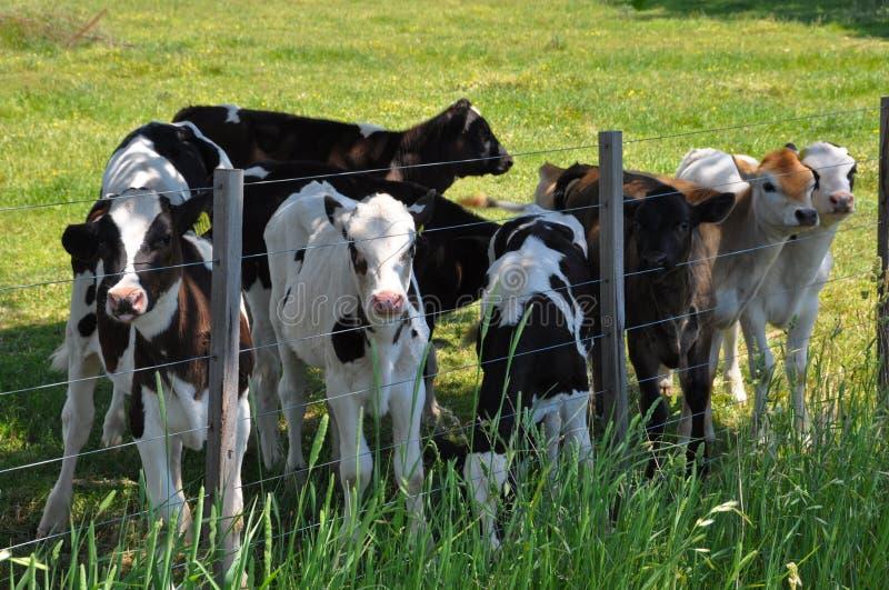 Calves royalty free stock image