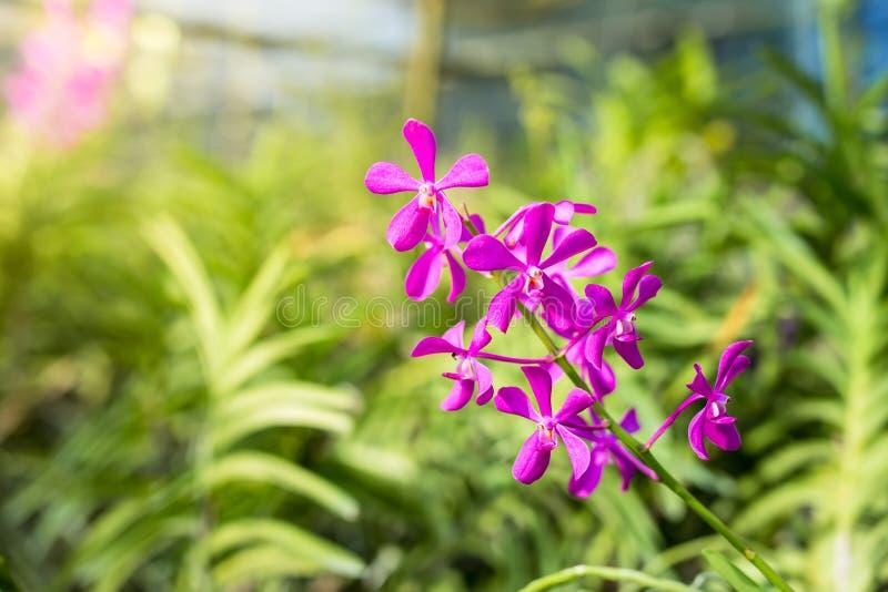 Calypso de rose de Mokara, belles orchidées roses Ferme d'orchidée Thaila photographie stock