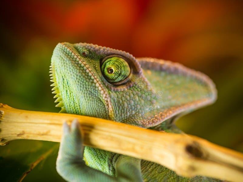 Calyptratus velado del Chamaeleo del camaleón que descansa sobre una rama en su hábitat fotos de archivo