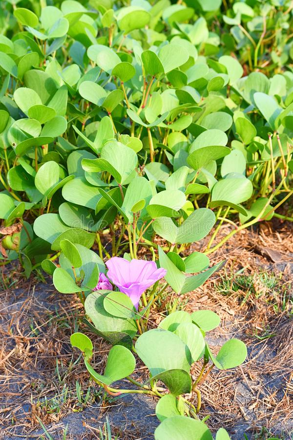 Calystegia soldanella - Sea Bindweed - A Violet Wild Flower Weed at Seashore stock photos