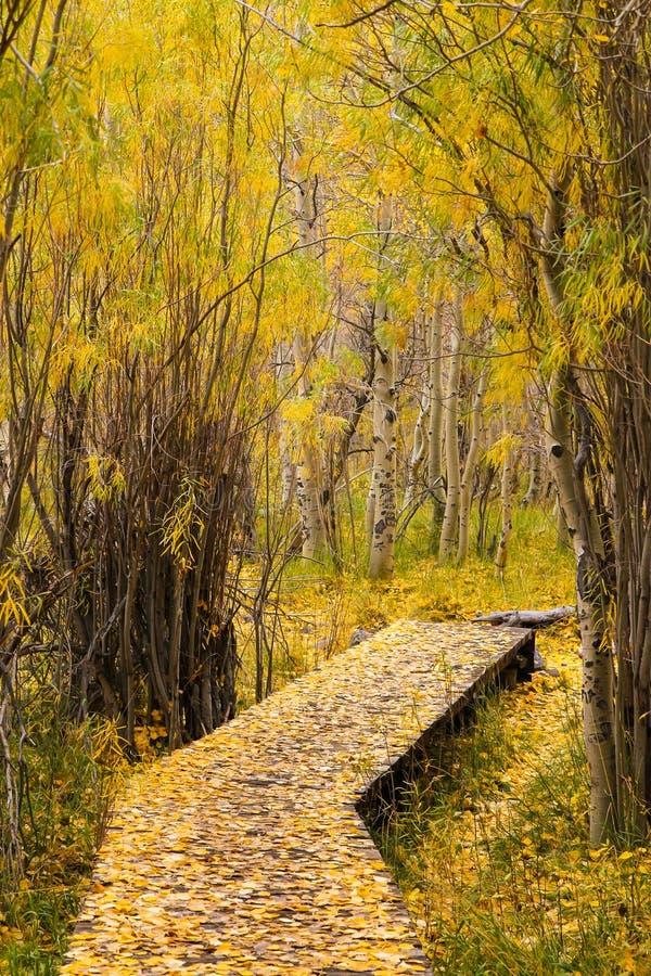 Calzada de oro de Sierra Nevada a través de álamos tembloses en el lago convict imagenes de archivo