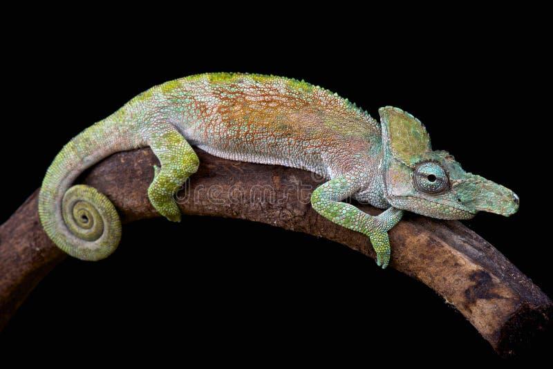 caméléon Étrange-flairé (xenorhina de Kinyongia) image libre de droits