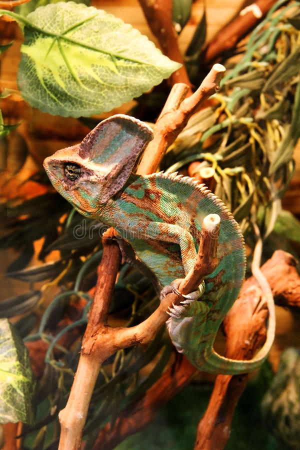 caméléon photos libres de droits