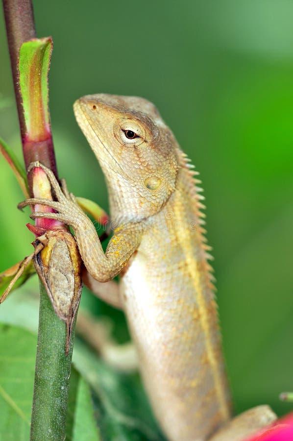 Download Caméléon image stock. Image du animal, closeup, faune - 8664149