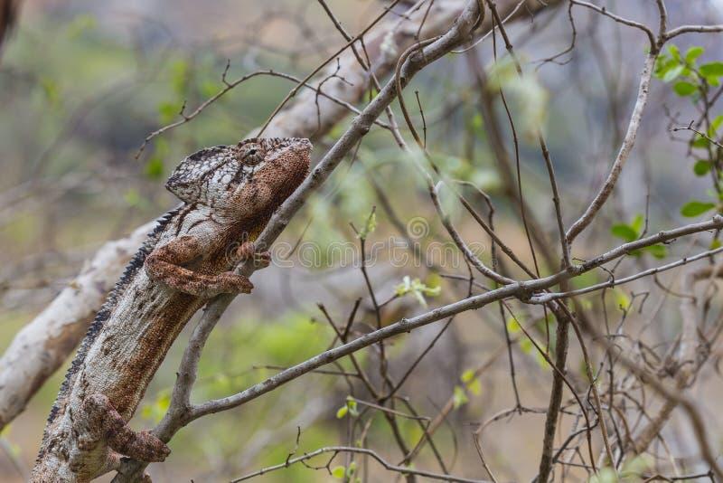 Caméléon d'Oustalet camouflé sur une forêt brune photographie stock libre de droits