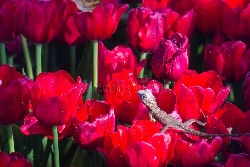 caméléon dans la texture rouge de tulipes images libres de droits