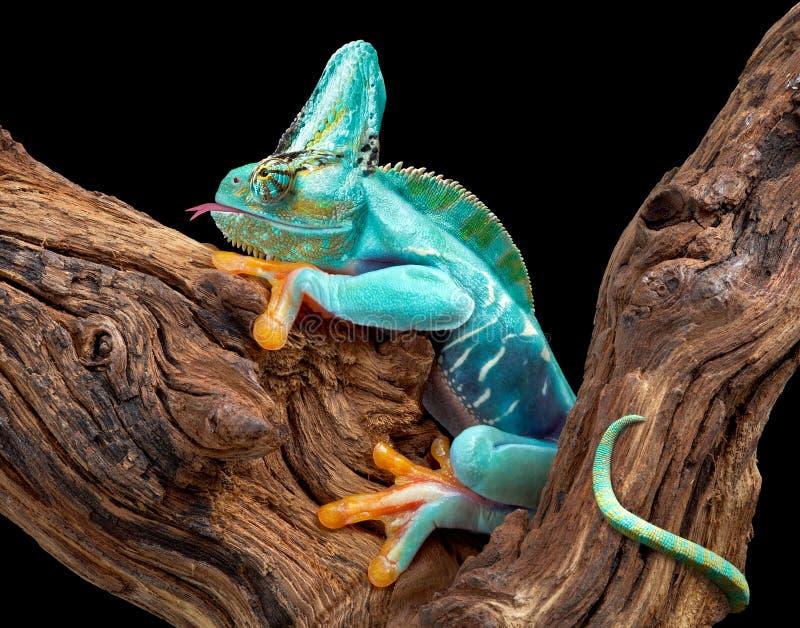 Caméléon de pièce de grenouille de partie images libres de droits