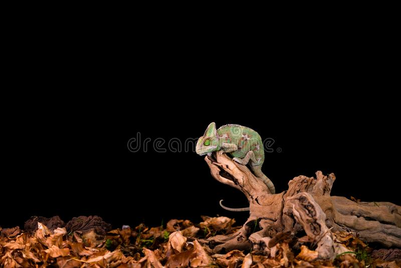 Caméléon du Yémen ou caméléon voilé image stock