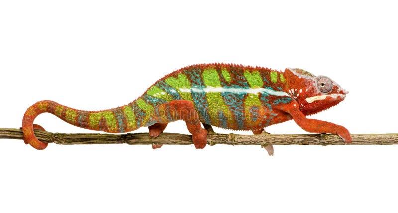 Caméléon Furcifer Pardalis - Ambilobe (18 mois) images libres de droits