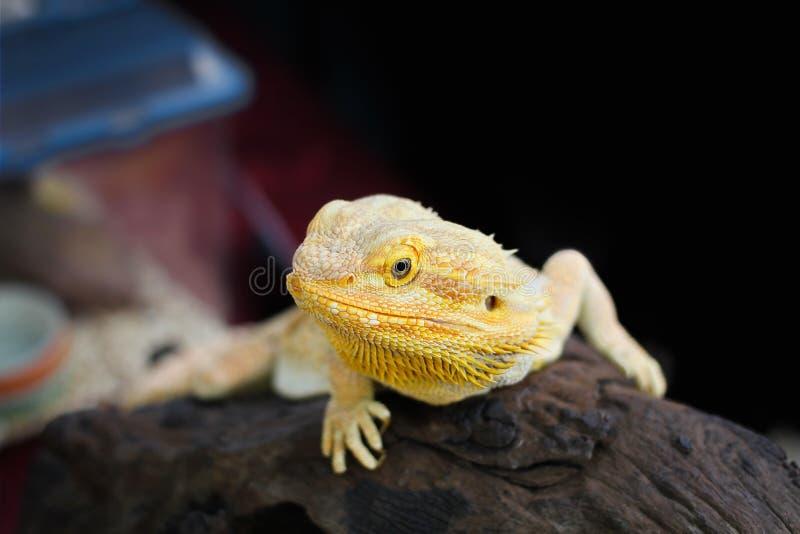 Caméléon jaune se reposant sur un rondin photo stock