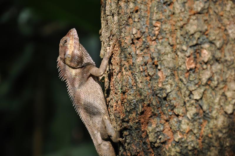 Caméléon s'accrochant à un arbre images libres de droits