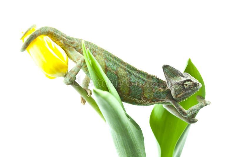 Caméléon se reposant sur une tulipe photos libres de droits