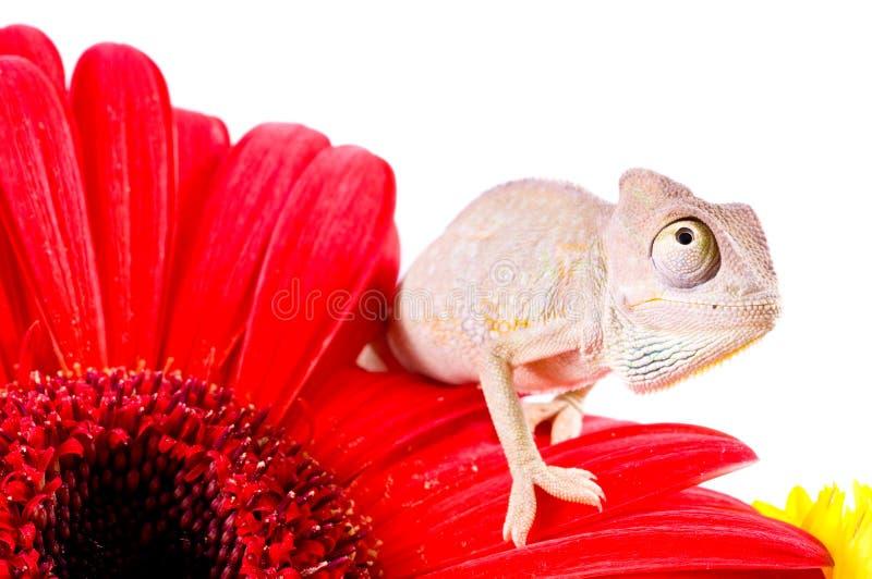 Caméléon sur la fleur photographie stock libre de droits