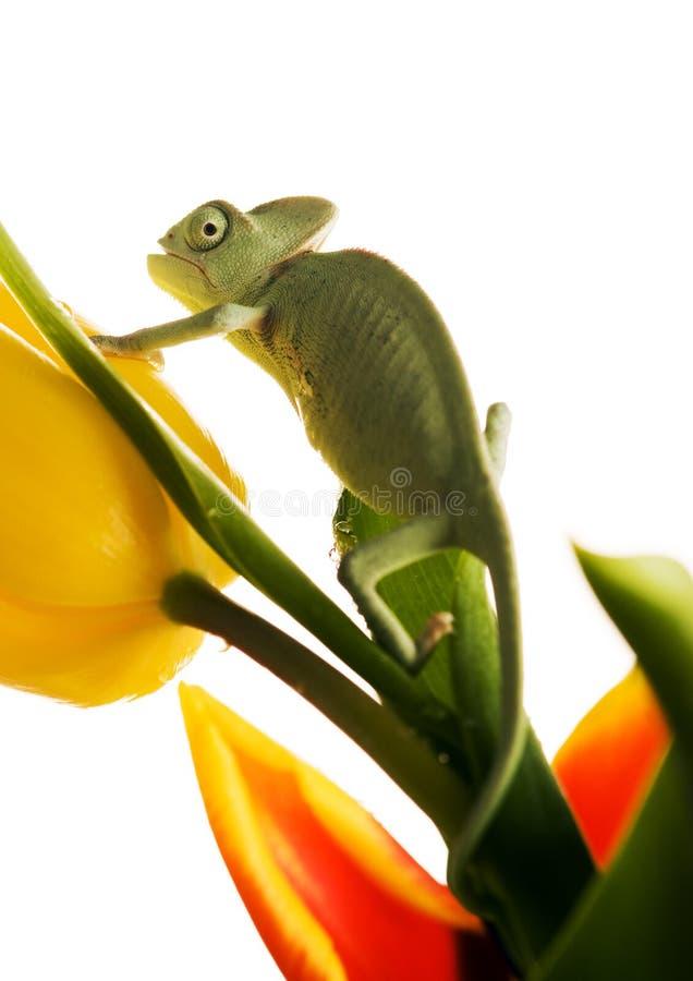 Caméléon sur la tulipe image libre de droits