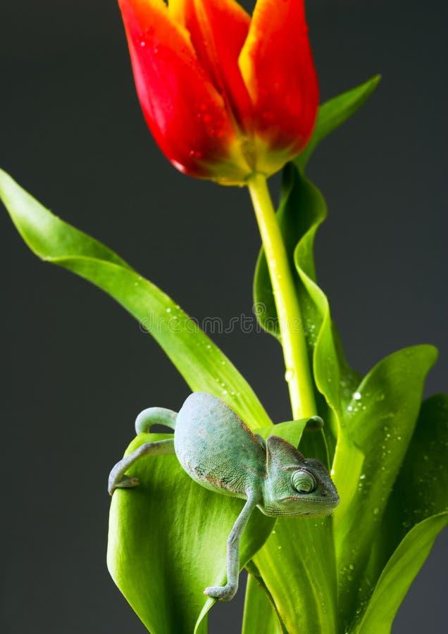 Caméléon sur la tulipe photo libre de droits