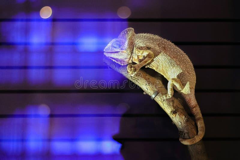 Caméléon sur le grand fond noir Lézard sur le tru d'arbre photographie stock libre de droits