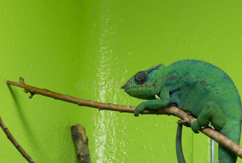Caméléon vert photos libres de droits