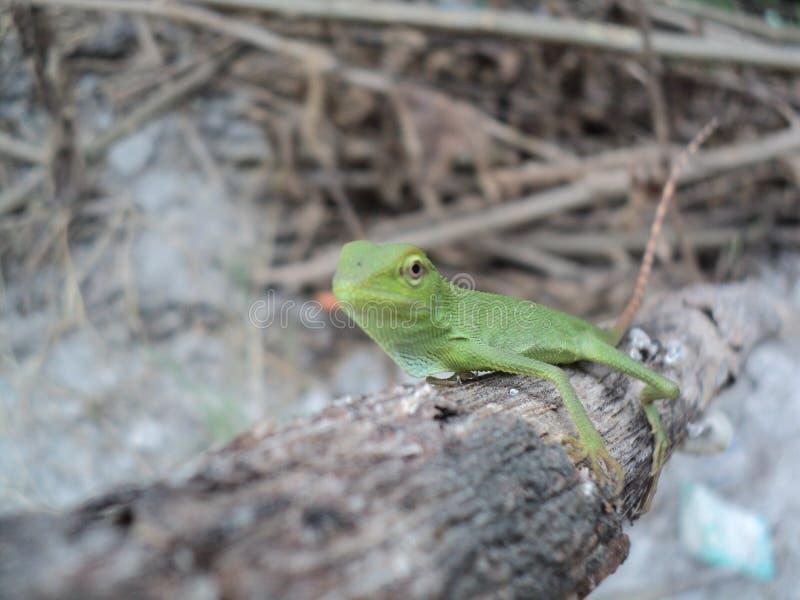 caméléon vert sur un tronc d'arbre sec photos stock