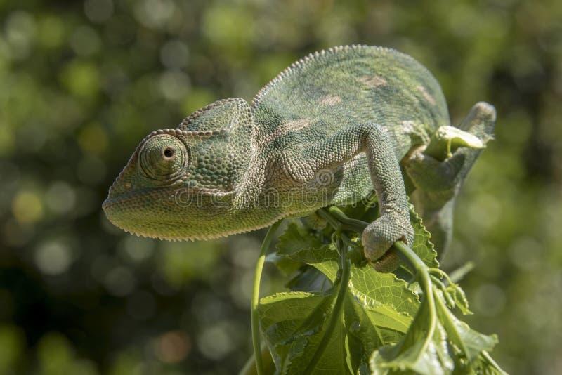 Caméléon vert sur une branche photographie stock