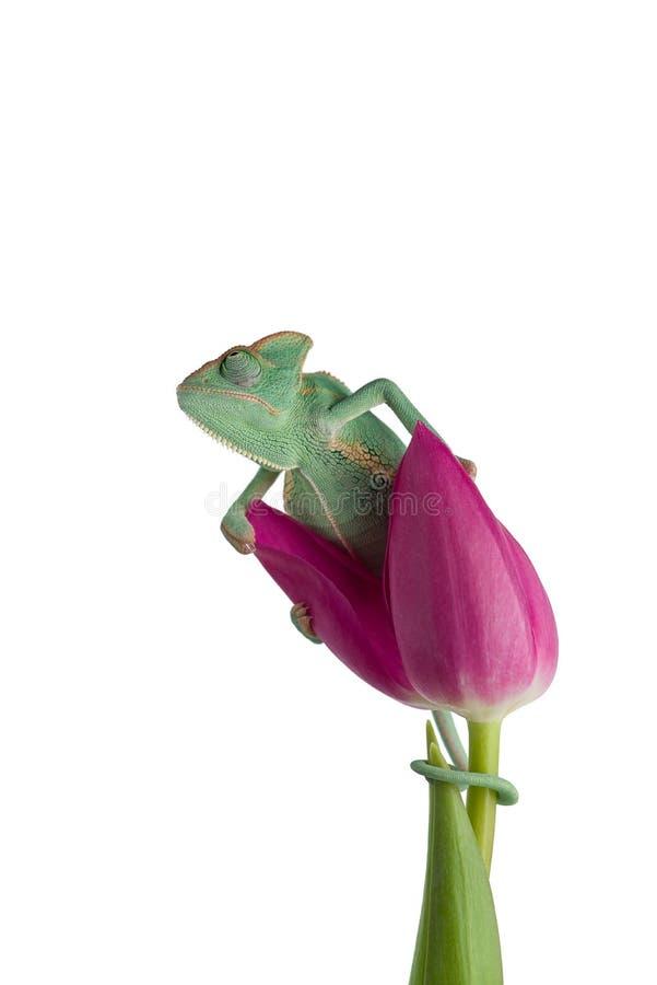 Caméléon voilé sur une fleur d'isolement sur le fond blanc photo libre de droits