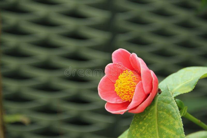 camélia image stock